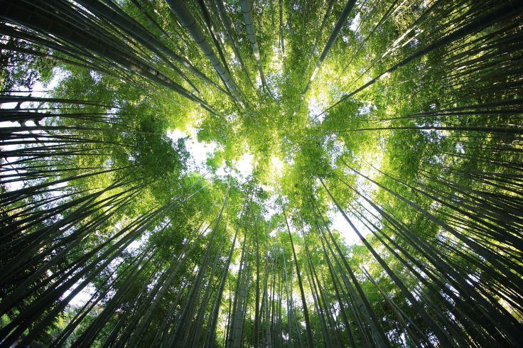 Una vez plantamos la semilla, el bambú japonés no crece hasta que pasan siete años. De repente, en seis semanas, puede llegar a crecer más de treinta metros. FOTO: KAZUEND. UNSPLASH.